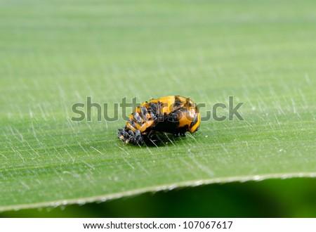 ladybird pupa - stock photo