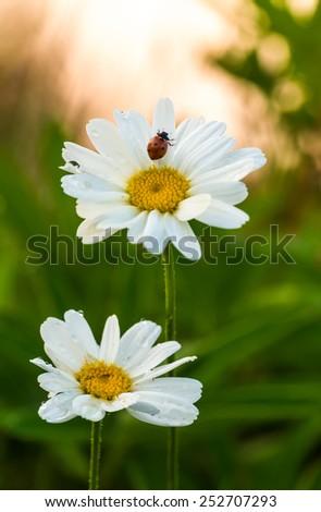Ladybug, Coccinella septempunctata on flower, the morning sun in the background - stock photo