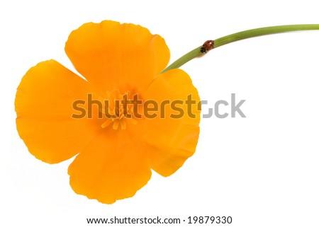 Ladybug (Hippodamia convergens) and California poppy (Eschscholzia californica) flower. - stock photo