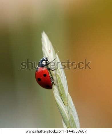 Ladybug in the nature - stock photo