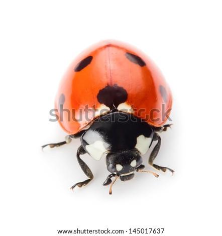 Ladybug isolated on white - stock photo