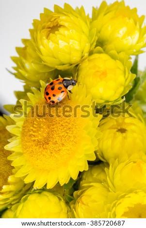 ladybug ladybird bug or beetle on a bright yellow flower bud showing yellow petal detail - stock photo