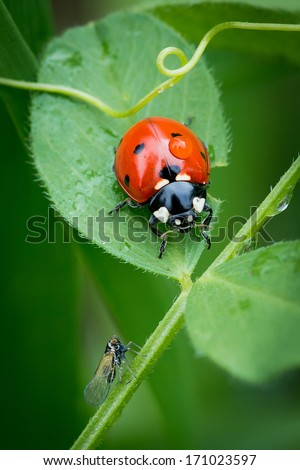 Ladybug on a leaflet. Red bug on the grass. Insects. Background wild nature. Macro - stock photo