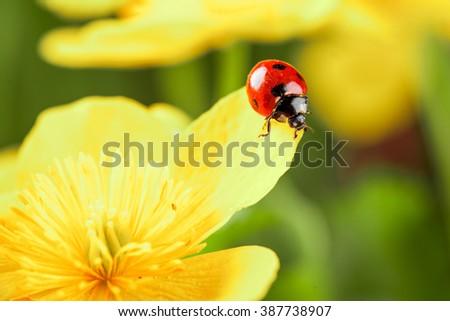Ladybug on a yellow flower. studio shot - stock photo