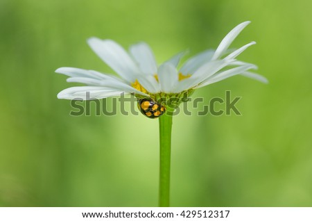 ladybug on camomile - stock photo