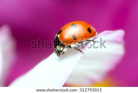 Ladybug on cosmos flower - stock photo