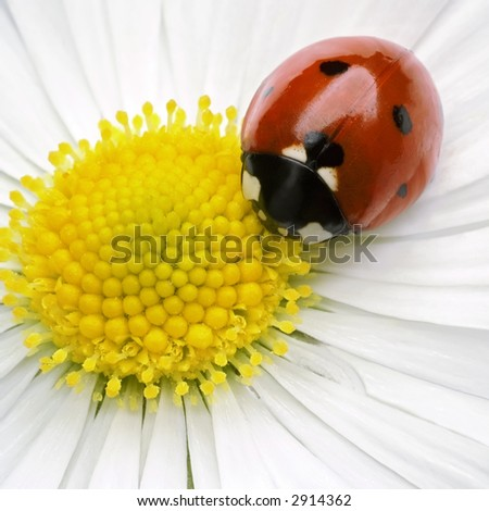 ladybug on flower petals - stock photo
