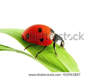 Ladybug on grass macro isolated on white background - stock photo