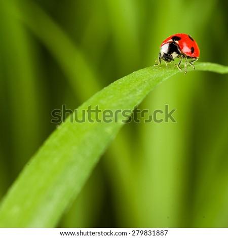 Ladybug on Green Grass Over Green Bachground. studio shot - stock photo