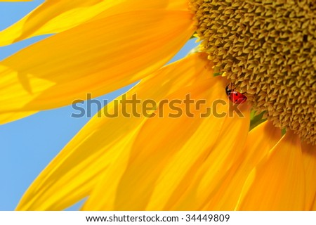 ladybug on sunflower - stock photo
