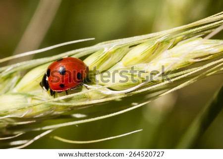 Ladybug on wheat ear with green, natural background - stock photo