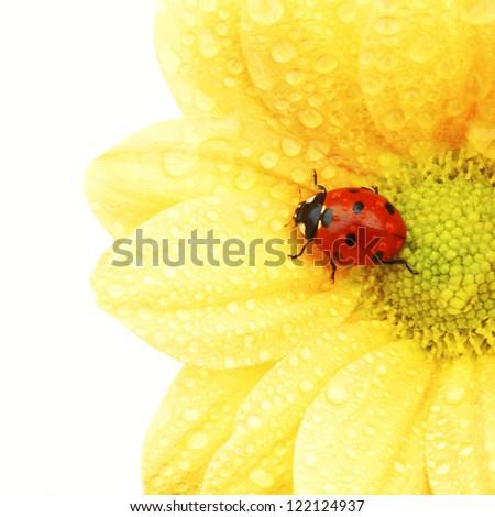 ladybug on yellow flower isolated white background - stock photo