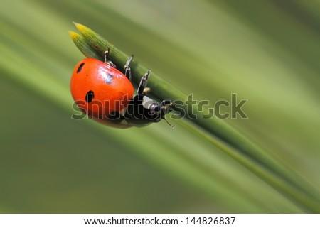 Ladybug sitting on pine tree needles - stock photo