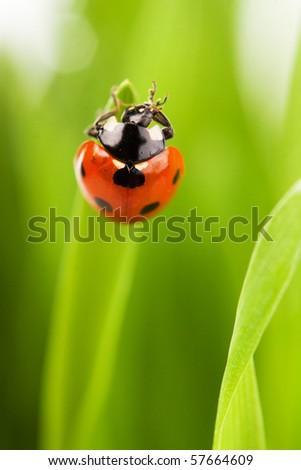 ladybug sitting on the blade of grass - stock photo