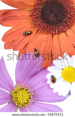 Ladybugs (Hippodamia convergens), Pink Cosmos, Orange Gerbera Daisy (Gerbera jamensonii), and White Leucanthemum Paludosum (Chrysanthemum paludosum) flowers. - stock photo