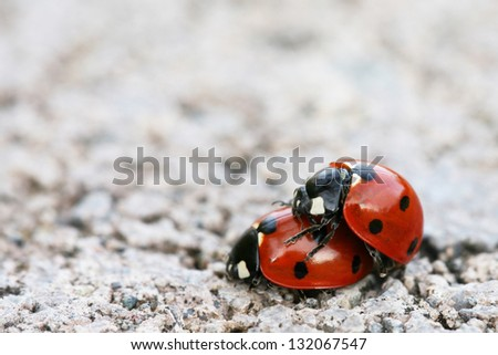 Ladybugs Mating (with shallow depth-of-field) - stock photo