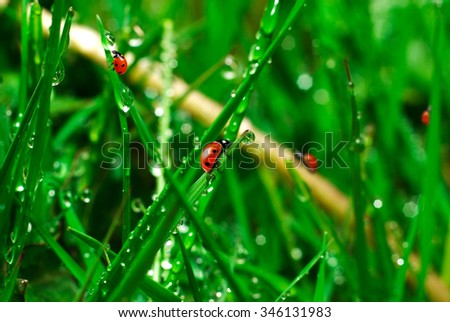 ladybugs on green grass with water drops - stock photo