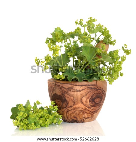 Ladys mantle herb in an olive wood mortar with pestle and leaf and flower sprig, isolated over white background with reflection. Alchemilla vulgaris. - stock photo
