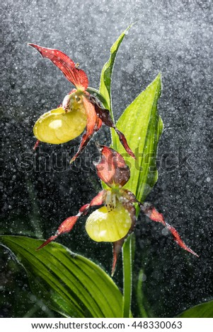 Ladys Slipper Orchid bloom in the pouring rain like snowing. Blossom and water drops like snow. Yellow with red petals blooming flower in natural environment. Lady Slipper, Cypripedium calceolus. - stock photo