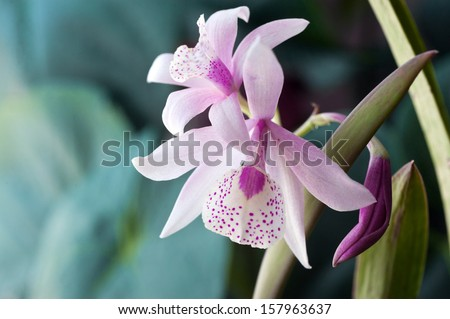 Laeliocattleya orchid hybrid  - stock photo