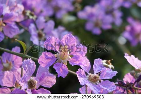 Lagerstroemia floribunda flower                  - stock photo