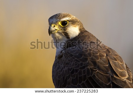 Laggar Falcon Closeup - stock photo