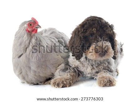lagotto romagnolo and chicken in front of white background - stock photo