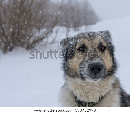 Laika, the dog the faithful friend, snowfall, winter, a stray dog, cute, beautiful, pleading eyes, adult, overcoming difficulties to follow the master - stock photo