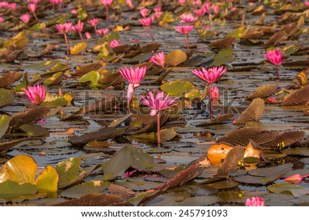 Lake of red water lily in Nong Han, Udon Thani, Thailand. - stock photo