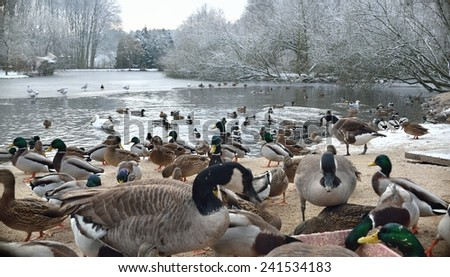 Lake with ducks, geese and swan in witer scenery.  - stock photo