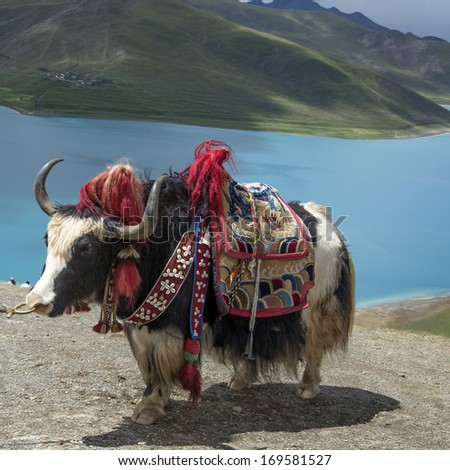 Lakes and yaks in Tibet - stock photo