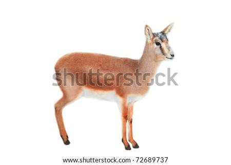 Lama - stock photo