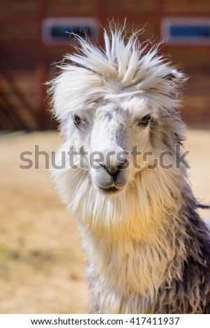 Lama alpaca exotic animals at the zoo - stock photo