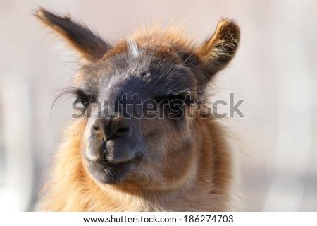 lama glama ( spitting llama ) looking at the camera, image made on a tame domesticated animal - stock photo