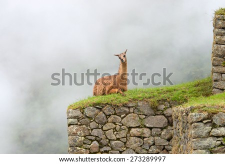 Lama in Machu Picchu , Peru. UNESCO World Heritage Site - stock photo