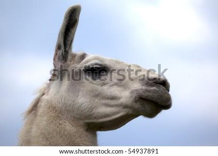 lama isoalted - stock photo