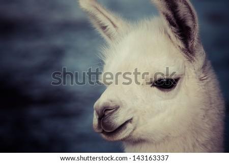 Lama on the Laguna Colorada, Bolivia - stock photo