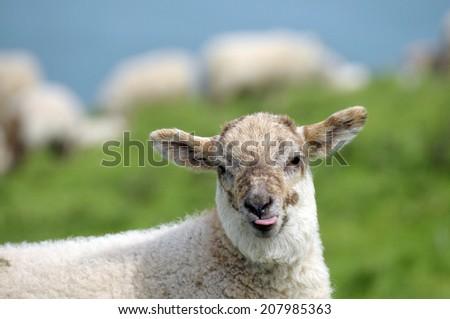 Lamb in field near Llangrannog, Cardigan coast  - stock photo