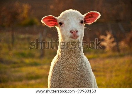 Lamb in the sunset - stock photo