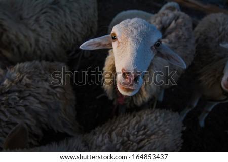 lamb, sheep - stock photo