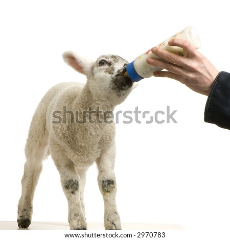 Lamb standing up, isolated on a white background - stock photo