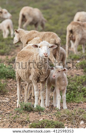 lambing season on a sheep farm with females and their newborn grazing in the dry field - stock photo