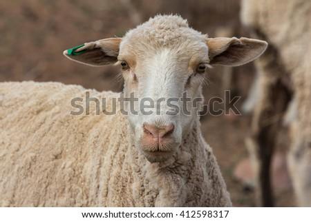 lambing season on a sheep farm with females head detail - stock photo