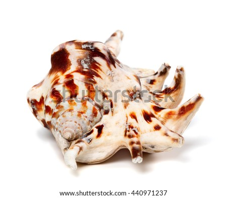 Lambis tiger shell isolated on white background - stock photo