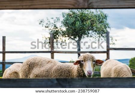lambs behind fence. Granadilla, Caceres, Extremadura - stock photo