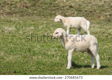 Lambs grazing on a green pasture; organic breeding concept.  - stock photo