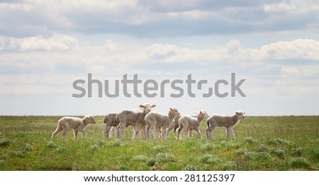 Lambs in the pasture under a blue sky with clouds - stock photo