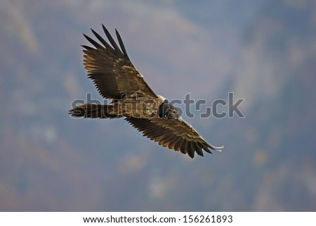 Lammergeier or lammergeyer or bearded vulture,  Gypaetus barbatus, juvenile in flight, Spain, winter              - stock photo