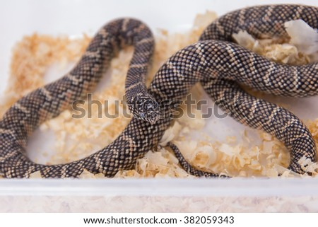 Lampropeltis getula meansi, commonly known as Apalachicola Kingsnake, saw dust for snake bedding - stock photo