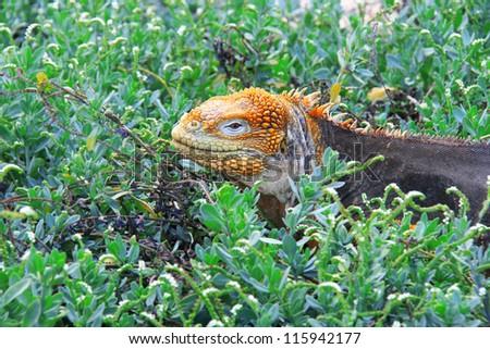 Land iguana at the Charles Darwin Research Station in Puerto Ayora on Santa Cruz, Galapagos, Ecuador. - stock photo
